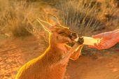 Closeup of baby Kangaroo orphan having their milk. Tourist feeds small kangaroo bottle feeding outdoors. Sunset golden light shot. Australian Marsupial, Northern Territory, Red Centre. poster