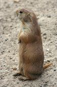 Cute prairie dog standing alert and ready poster
