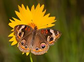 Colorful Common Buckeye butterfly, Junonia coenia, on a yellow Coreopsis flower on a late spring evening poster
