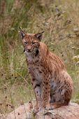 A Eurasian lynx (Lynx lynx) is sitting poster