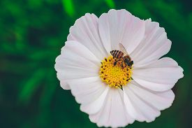 Close Up Cosmos Flower And Bee With Green Blur Background In Sunshine. Royalty High-quality Stock Ph