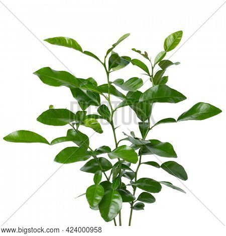 Fresh green aromatic Kaffir lime plant close up on white background