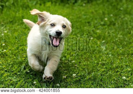 The Puppy Of A Small White Dog Runs With His Tongue Out. Happy Dog. Labrador Crossbreed. Joy.