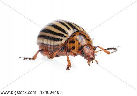 One Colorado Potato Beetle Isolated On White