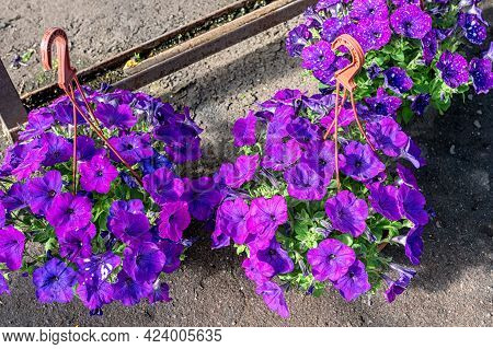 Close-up Of A Planter With Beautiful Lilac Space Petunia Flowers Standing On The Floor In The Center