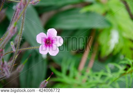 Giant Herb-robert (geranium Maderense) On A Green Background With Negative Space On The Right