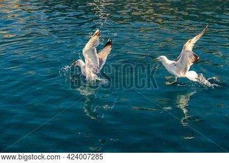 Two Big White Seagulls (larus Argentatus) Fighting For Food In Crystal Blue Waters Of Mediterranean