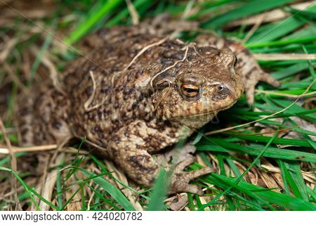 Toad Sitting In Green Grass In Summer Outdoors