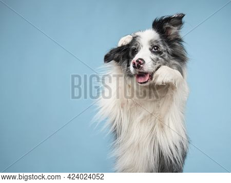 Funny Emotional Dog, Border Collie Waving Paws, Cute Pose. Pet On A Blue Background.