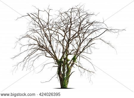 Dead Tree With Clipping Path Isolated On White Background.