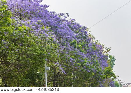 Beautiful Purple Jacaranda Ornamental Trees By The Road Kathmandu Nepal.