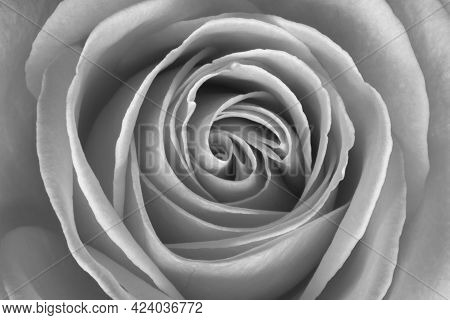 Black And White Image Of A Rose (rosa)