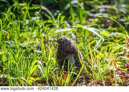 A Fieldfare Chick, Turdus Pilaris, Has Left The Nest And Sitting On The Spring Lawn. A Fieldfare Chi