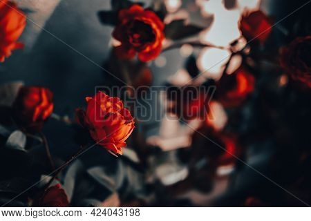 Red Rose Flowers With Sunlight. Vintage Style. Valentine's Day Concept.