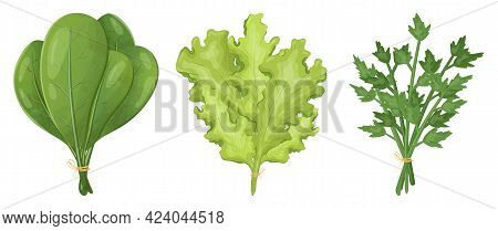 Set Of Vector Realistic Images Of Bundles Of Greens For Salad. Spinach, Lettuce And Parsley Leaves.
