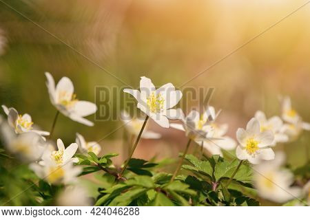 Spring Flowers In The Forest , Wild Anemone (anemone Nemorosa)