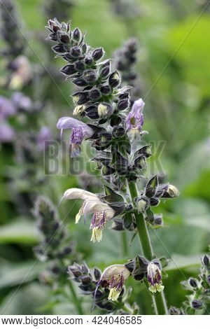 Anise scented sage, Salvia guaranitica of unknown variety, blue flowers fading to yellow with a blurred background of leaves.
