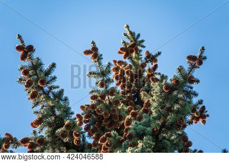 Green Spruce Branches With Needles And Cones Against A Blue Sky In Winter. Many Cones On Spruce. Fir