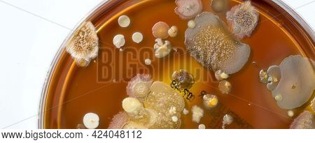 A petri dish with colonies of microorganisms for bacteriological analysis in a microbiological laboratory