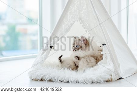 Cute ragdoll kittens sleeping close to their cat mother inside white curtain tent on fur. Adorable purebred feline family with kitty cats during studio photoshoot