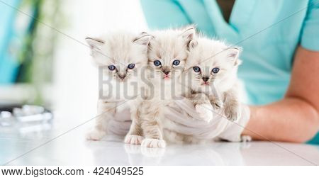 Three adorable fluffy ragdoll kittens with beautiful blue eyes sitting on table at vet clinic and looking at camera. Woman veterinarian specialist holding cute purebred kitty cats during medical care