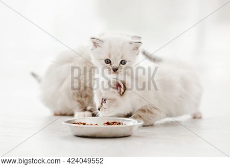 Three adorable ragdoll kittens standing close to metal bowl with feed and looking at it on blurred white background. Cute purebred fluffy kitty cats going to eat in light room