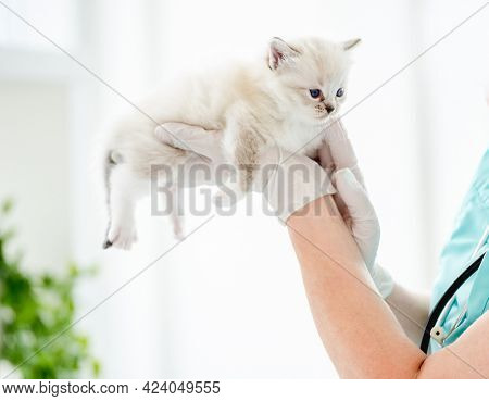 Adorable ragdoll kitten lying on hands of veterinarian at vet clinic. Woman animal doctor holding cute purebred fluffy kitty during medical care examining