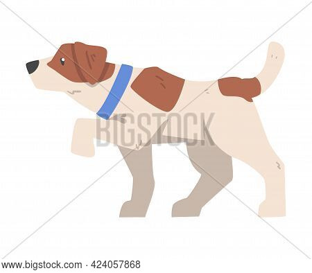 Walking Jack Russell Terrier, Cute Pet Animal With Brown And White Coat Cartoon Vector Illustration