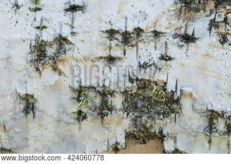 The Old Wood Birch Texture Birch Bark