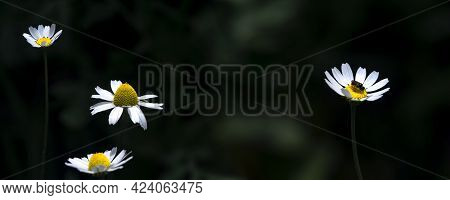 Panorama Of Chamomile Flowers.healing Chamomile. Two Chamomile Flowers On A Dark, Artistic Backgroun