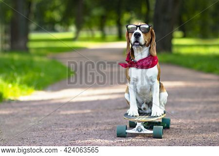 The Dog Beagle Of The Breed Is True, It Rides In The Park But A Longboard. Pet Walks, Learns To Ride