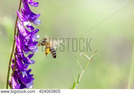 Flying Honey Bee Collecting Bee Pollen From Purple Blossom. Bee Collecting Honey.