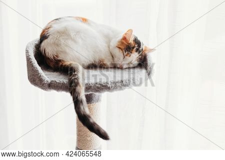 An Adorable Tricolor Kitten Sleeps On Its Bed Against The Backdrop Of A Light Curtain. Cute Pets. Co