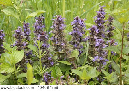 Ajuga Reptans Is Commonly Known As Bugle, Blue Bugle, Bugleherb, Bugleweed, Carpetweed, Carpet Bugle