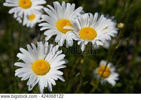 Wild Daisies Flowers In The Fields In The Province Of Quebec, Canada