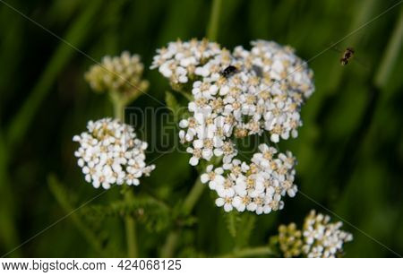 White Flowers With Foraging Insects In A Field