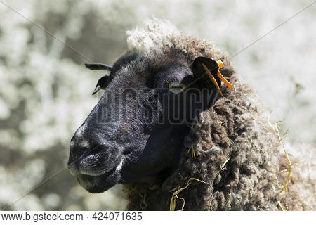 Ovis Aries. An Up Close View Of A Sheep Head. Side View. Sheep In The Pasture. Home Animal. The Shee