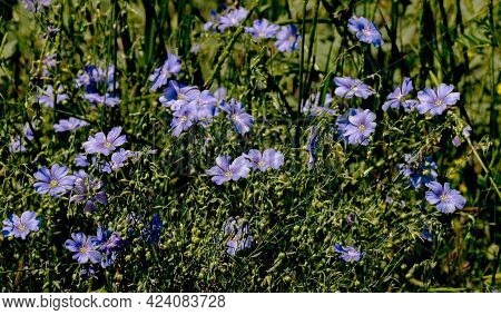 Bright Delicate Blue Flower Of Decorative Flax Flower And Its Shoot On Grassy Background. Creative P
