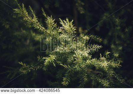 Leaves Of Revolution Gold Or Black Tea Tree (melaleuca Bracteata F.muell)