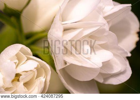 White Jasmine Flowers Macro, Jasmine Bush Close Up