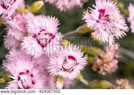 Pink Flower Macro, Field Flowers Close Up