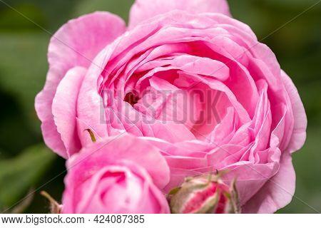 Pink Rose Flowers Macro, Garden Rose Close Up