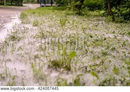 Ground Covered With A Lot Of Poplar Fluff