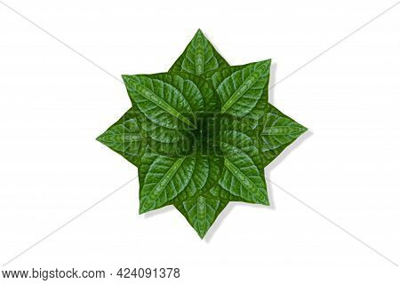 Fresh Green Piper Sarmentosum Leaves Bouquet Greenery A Raw Material For Cooking Food Diet And Use F