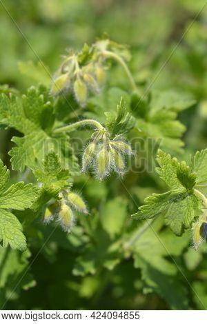 Purple Cranesbill Rosemoor Flower Buds - Latin Name - Geranium X Magnificum Rosemoor