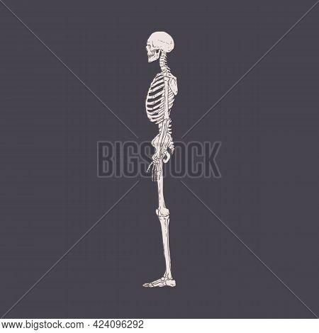 Side View Of Human Skeleton With Realistic Bones, Ribs And Skull. Drawing Of Body Structure Profile.