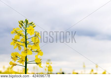 Colza Flower. Yellow Rape Flowers For Healthy Food Oil On Field. Rapeseed Plant, Canola Rapeseed For