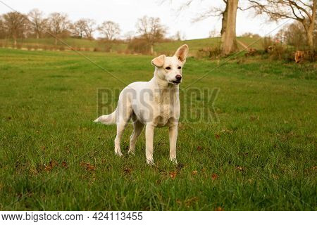 Beautiful White Shepherd Mixed Dog Is Standing On A Field