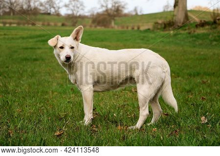 Beautiful White Shepherd Mixed Dog Is Stangin On A Field