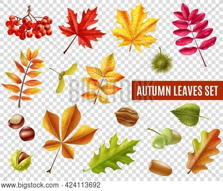 Colorful Autumn Leaves From Different Trees Chestnuts Rowan And Acorns Isolated On Transparent Backg